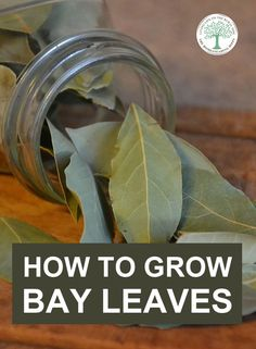 Everything you need to know about growing bay trees, so you can harvest bay leaves to use in your kitchen. Grow them in containers, outside in the garden, planting, caring and harvesting. Bay Leaf Plant, Bay Leaf Tea, Plant Leaves, Home Vegetable Garden, Herb Garden, Garden Beds, Herbs For Health, Bay Trees, Living Off The Land