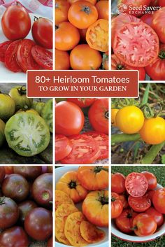 Interested in growing heirloom tomatoes? Search over 80 varieties and find the right kinds for your garden. http://www.seedsavers.org/category/tomato