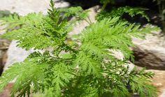 Ela já é utilizada pela medicina tradicional chinesa à mais de 2000 anos, como sendo um forte remédio para a febre, e contra a malária, losna (artemisia annua), é uma planta aromática com qualidades medicinais inequívocas.