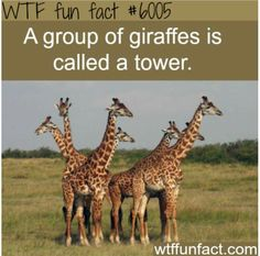 a group of giraffes wtf fun facts - İnteresting İnformation And Curiosities Fun Facts For Kids, Wtf Fun Facts, True Facts, Funny Facts, Random Facts, Giraffe Facts For Kids, Fun Facts About Giraffes, Giraffe Pics, Giraffe Quotes