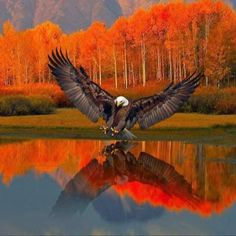 Eagle on a lake in fall