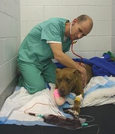 Lilly, an absolutely amazing, brave, loyal and loving Pit Bull who saved her owner's life.  Please join me in sharing her story and sending her good healing vibes as she has a long recovery ahead of her.