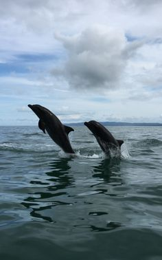 Perfect coordination - dolphins are often seen from our boat jumping in the tranquil waters of Golfo Dulce, Costa Rica. Be part of the dream at Golfo Dulce Retreat www.gdretreat.com