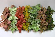 Fittonia (Terrarium / vivarium /Paludarium / Indoor Plant