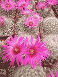 Mammillaria Guelzowiana Cactus Plant