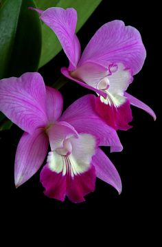 """Laeliocattleya Orchid"" - © Winston D. Munnings"