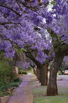 Pretoria, South Africa is famous for its jacaranda trees. Their bright purple flowers attract tourists and photographers every spring. Purple Trees, Purple Flowers, Beautiful Flowers, Beautiful Places, Tree Story, Picture Tree, Flowering Trees, Outdoor Gardens, South Africa