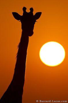 A giraffe silhouetted by the rising sun. Masai Mara, Kenya.