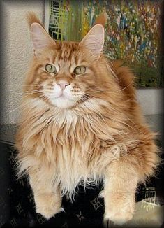 Cool Motions Marascino of PillowTalk http://www.mainecoonguide.com/maine-coon-temperament/