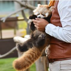 Red Panda Cute, Panda Love, Panda Bear, Happy Animals, Cute Baby Animals, Animals And Pets, Fluffy Animals, Baby Puppies, My Spirit Animal