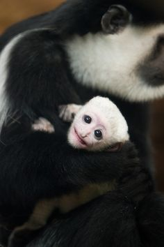 A tiny male Eastern Black-and-white Colobus Monkey was born at the Saint Louis Zoo's Primate House on January 10. The little one was given the name Ziggy as a nod to rock star David Bowie who passed away on the day the infant was born. Check out ZooBorns to learn more and see more! http://www.zooborns.com/zooborns/2016/02/colobus-monkey-is-jamming-good-at-saint-louis-zoo.html