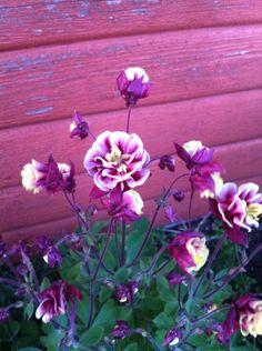 Akelejen fra mine forældre blomstrer igen i år i sine skønne lilla, gule og hvide farver