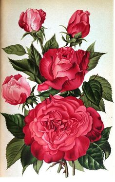 Rose Madame Phillipe Kuntz | Flickr - Photo Sharing!
