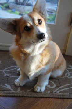 my future pup - not this one...but a corgi, someday