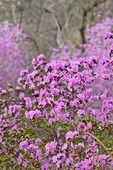 542018 - Siberian alpenrose (Rhododendron dauricum syn. Rhododendron sichotense)