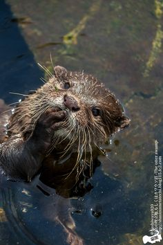 Anthropologist Otter Studies Human's Curious Behavior