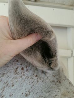 """""""Cleaning"""" your horse's ears - what you need to do!   http://www.proequinegrooms.com/index.php/tips/grooming/cleaning-ears/"""