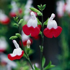 'Hot Lips' Salvia. I liked these better when I thought they were just going to be hot pink.
