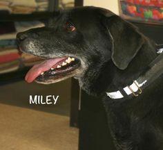 Adopt Miley! [via labradors.com]