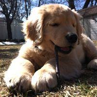 Blind Golden Retriever puppy steals hearts
