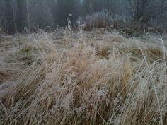 Morgonfrost i höstgräset