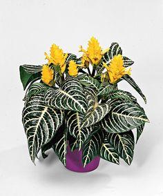 Aphelandra squarrosa ~ Zebra Plant