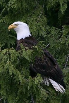 Lots of Bald Eagle's in Ms. All Birds, Birds Of Prey, Love Birds, Pretty Birds, Beautiful Birds, Animals Beautiful, Animals And Pets, Cute Animals, Tier Fotos