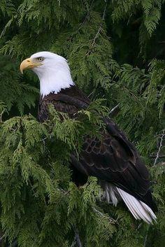 Lots of Bald Eagle's in Ms. All Birds, Birds Of Prey, Love Birds, Pretty Birds, Beautiful Birds, Animals Beautiful, The Eagles, Bald Eagles, Animals And Pets