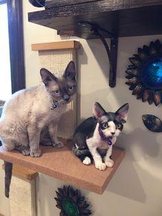 Devon Rex Cat and Kitty