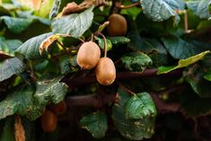 In order for the plant to set fruit, both male and female kiwi vines are necessary. How do I tell the difference between male and female kiwis? Learn how in this article. Kiwi Growing, Hardy Kiwi, Kiwi Vine, Plant Zones, Veggie Patch, Plant Identification, Delicious Fruit, Edible Garden, Aquaponics