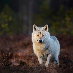 Wolf by Niko Pekonen