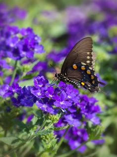 """Butterfly: """"In The Purple!"""" (Photo By: Marcia Straub on500px.)"""