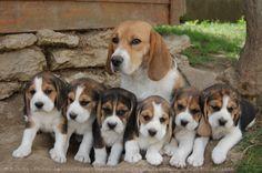 Le beagle est un chien courant, souvent utilisé en vénerie, et sélectionné pour la chasse au lapin, la chasse au chevreuil, au lièvre et plus généralement au gibier à poils. Il a un odorat très fin qui lui permet de servir en tant que chien de détection. Populaire comme chien de compagnie en raison de sa taille, de son tempérament et de son absence de problème de santé héréditaire, ces caractéristiques en font aussi un animal de laboratoire.