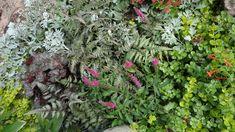 Revisiting Sheila's garden in Colorado, Day 1   Fine Gardening -Artemesia 'Silver Brocade', Japanese painted fern, Heuchera 'Dolce Licorice', Sedum 'Dragon's Blood', Veronica spicata
