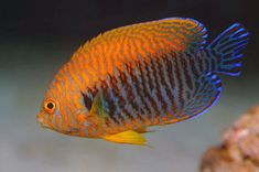 The Potter's Angelfish, or Potter's Pygmy Angelfish, is endemic to the Hawaiian Islands area, including the Johnston Atoll. The body is a brilliant orange, marbleized with pale to dark blue. The caudal portions of the dorsal and anal fins as well as the caudal fin are a dark blue-black