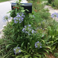 """Agapanthus loves the """"hell strip"""". I am waiting for Heavenly Blue Morning Glories to bloom any time over the mailbox!"""