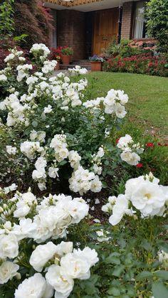 98 best flower carpet in gardens images on pinterest easy garden flower carpet white shines in this front yard mightylinksfo