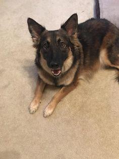 Dog-sitting this gorgeous girl for the week. Reddit meet Tabitha! http://ift.tt/2tum8Jy