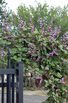 Hyacinth Bean Vine - will grow 10 feet tall in one summer season - great to almost instantly fill a trellis or to climb a post or pole.  Collect the purple pods in fall, store them over the winter and replant in Spring.  Neverending purple flowers all summer!