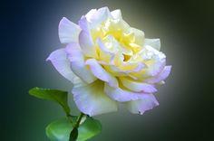 Rosa by Nina  Lin on 500px