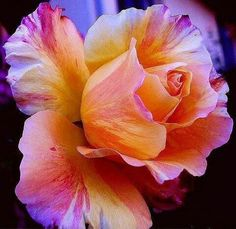 soft rose°Our Love in beginning of the bloom°The start of something new is revealing itself*Thank You YAH All & All In JESUS Amen Colorful Roses, Exotic Flowers, Amazing Flowers, My Flower, Beautiful Roses, Beautiful Flowers, Simply Beautiful, Pretty Roses, Yellow Flowers