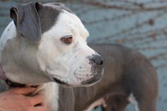 I'm Icee, a gentle, easy going girl. I'm a little shy at first, but there is nothing I like more than to go for an easy walk and then have you give me some gentle pets. I'm just four years old, and I probably raised some puppies back in the day. Recently I modeled a princess outfit in the Dogs on the Catwalk event. I am ready to start my new life as your loving companion. Come meet me! Icee is ACR# 29629 at Oakland Animal Services.