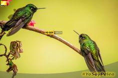 Sato Ramirez #YoSoyPelea  Nikon D3100