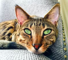 What shall I do with the day... Bentley The Savannah Cat. Green eyes, cat eyes, big cat, beautiful cat, big ears.
