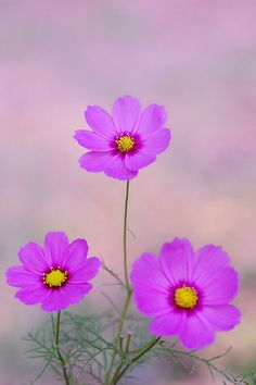Cosmos trio  |  photo by Sakura (Flickr) http://www.flickr.com/photos/sakura-kame/4060903310/in/set-72157594313811332