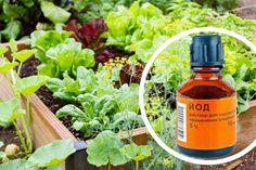Йод в огороде: подкормка растений, борьба с вредителями и болезнями – БУДЬ В ТЕМЕ