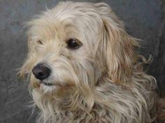 Alexandra Bonvicini URGENT AT SOUTH LA SHELTER: ID#A1567130,STRAY,POODLE MIX,2 YEARS OLD,19 POUNDS,GORGEOUS,HEALTHY! LADY IS VERY SCARED,BARKING AND GROWLING frown emoticon AT HER CAGE,NEEDS RESCUE ASAP OR AN ADOPTER,PLEASE SHARE FOR PLEDGES,SINCE JULY 1... WHAT A BEAUTY! heart emoticon