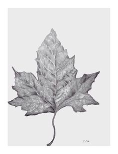 Pencil Drawing Leaf Graphite Original Nature Not A
