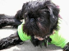 Pictures of Brussels Griffon Dog Breed