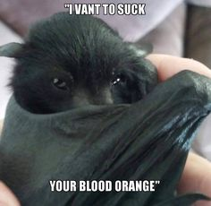 Baby Bats and Buddies of Australia - Larry doing his Count Dracula impression :) I'm so in loveeeee 😻😻 Nature Animals, Animals And Pets, Baby Animals, Funny Animals, Cute Animals, Creatures Of The Night, Cute Creatures, Beautiful Creatures, Animals Beautiful